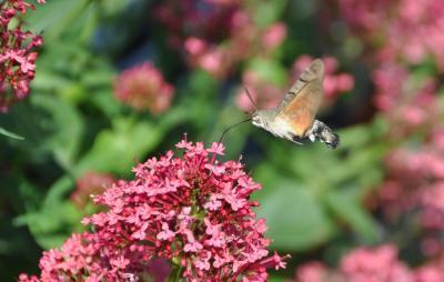 kolibrievlinder3.jpeg